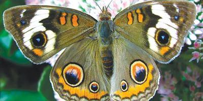 More Notable South Florida Butterflies
