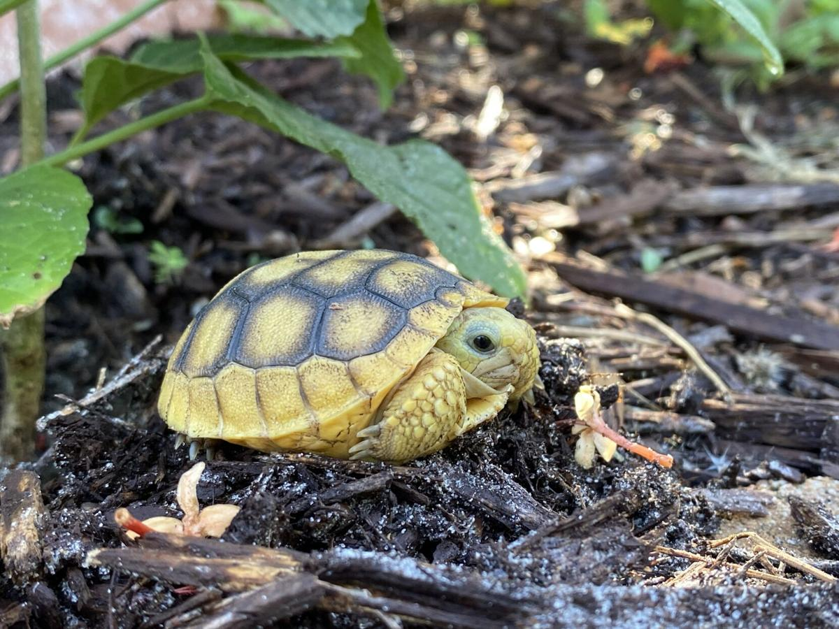 Gopher 7. A very young gopher tortoise and its small burrow.jpg