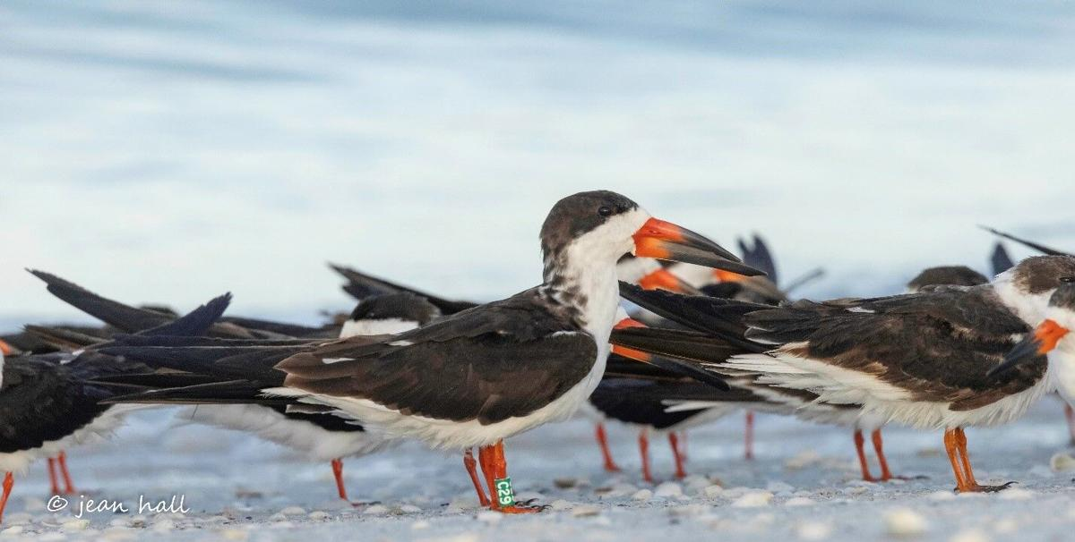 Tigertail Lagoon 2. Black Skimmer colony at the northern tip of Sand Dollar Island in 2021..jpg