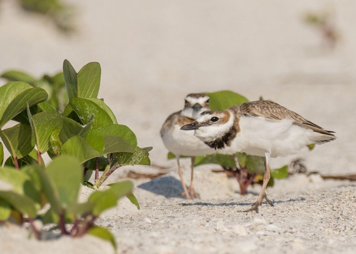 Tigertail Lagoon 3. Endangered Piping Plovers also nest on Sand Dollar Island..jpg