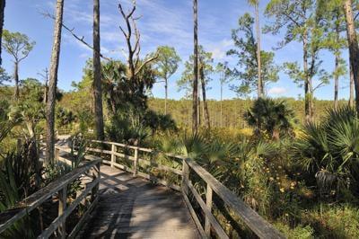 Audubon's Corkscrew Swamp Sunflowers along the boardwalk at Corkscrew Swamp Sanctuary..jpg