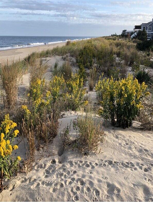 Seaside goldenrod dunes.jpg