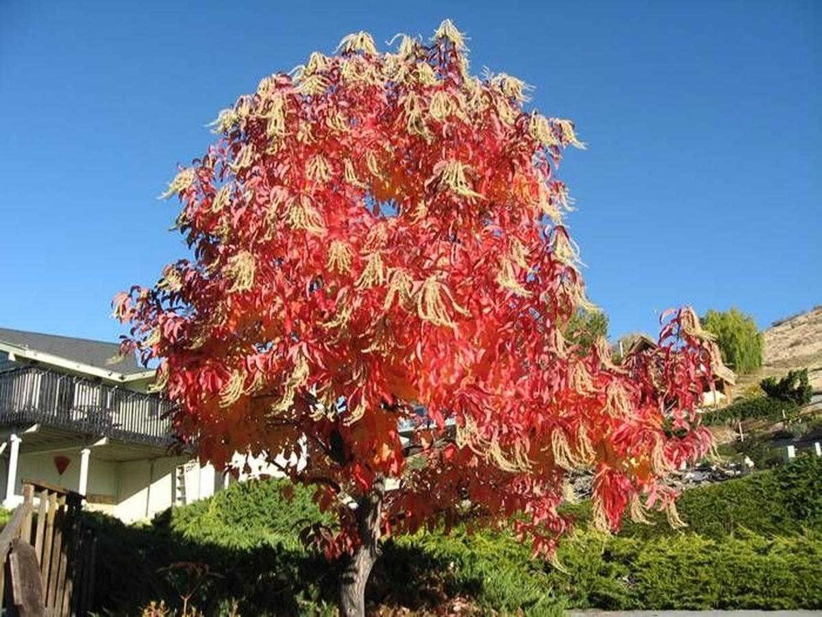 Sourwood with fall color