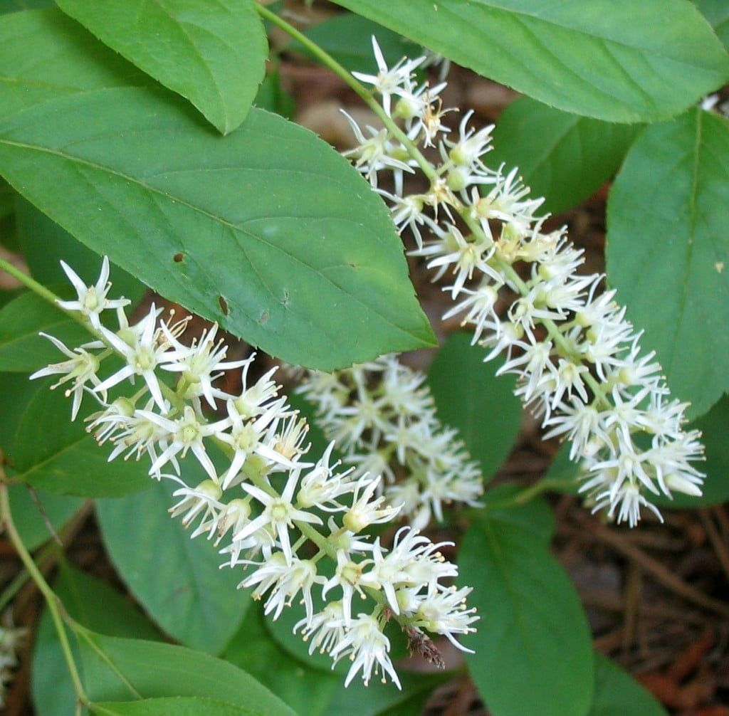 Sweetspire flowers