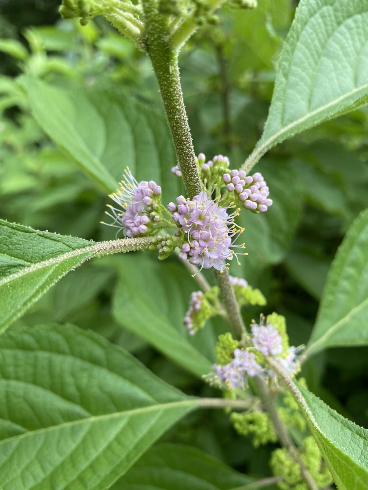 Callicarpa americana or beautyberry