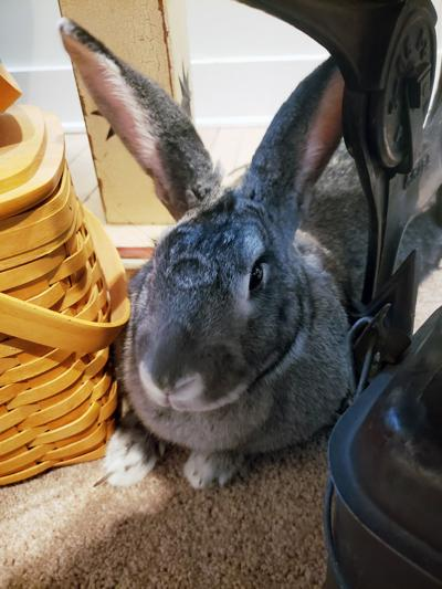 Biscuit the bunny