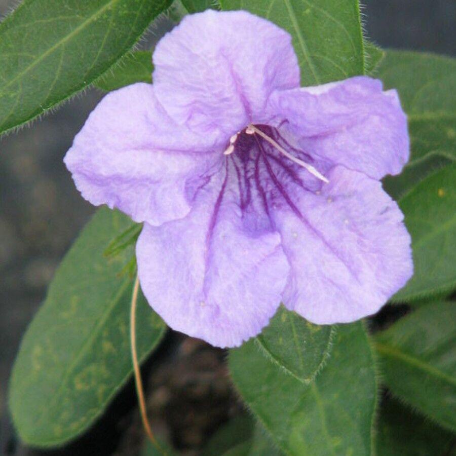 Hairy petunia blossom