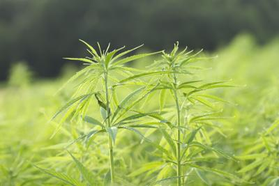Close up of two green hemp plants in an industrial plantation