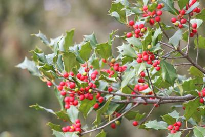 American Holly Tree (Ilex opaca)