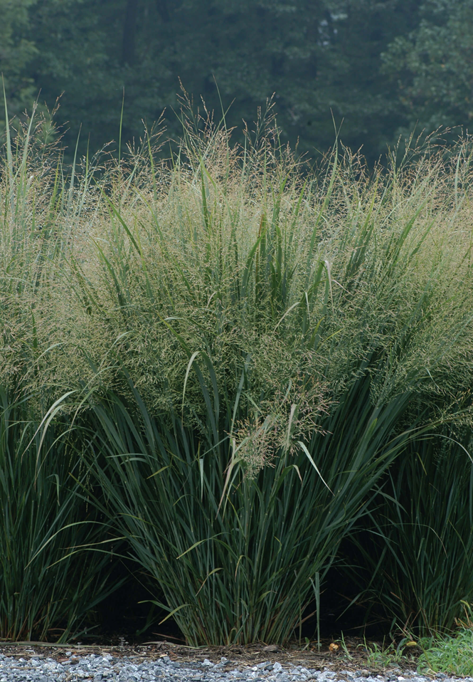 Switchgrass Northwind courtesy of.png