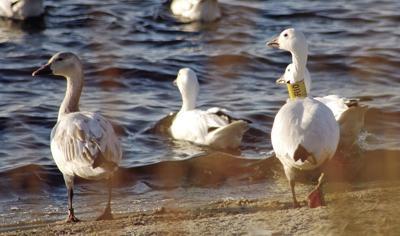 Hey goose