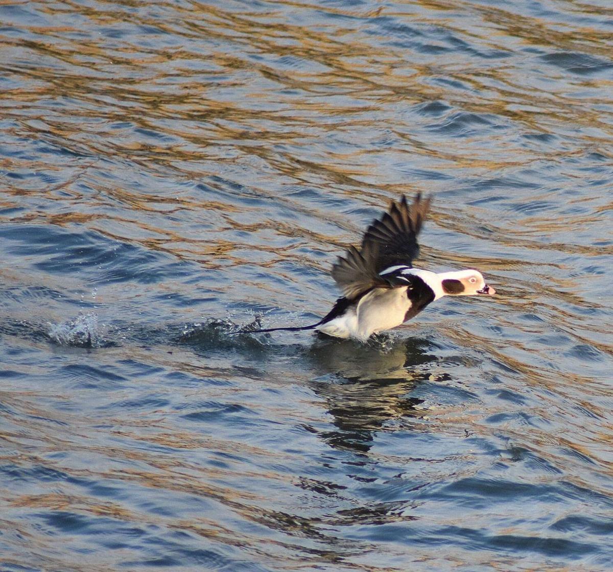long-tailed duck.jpg (copy)