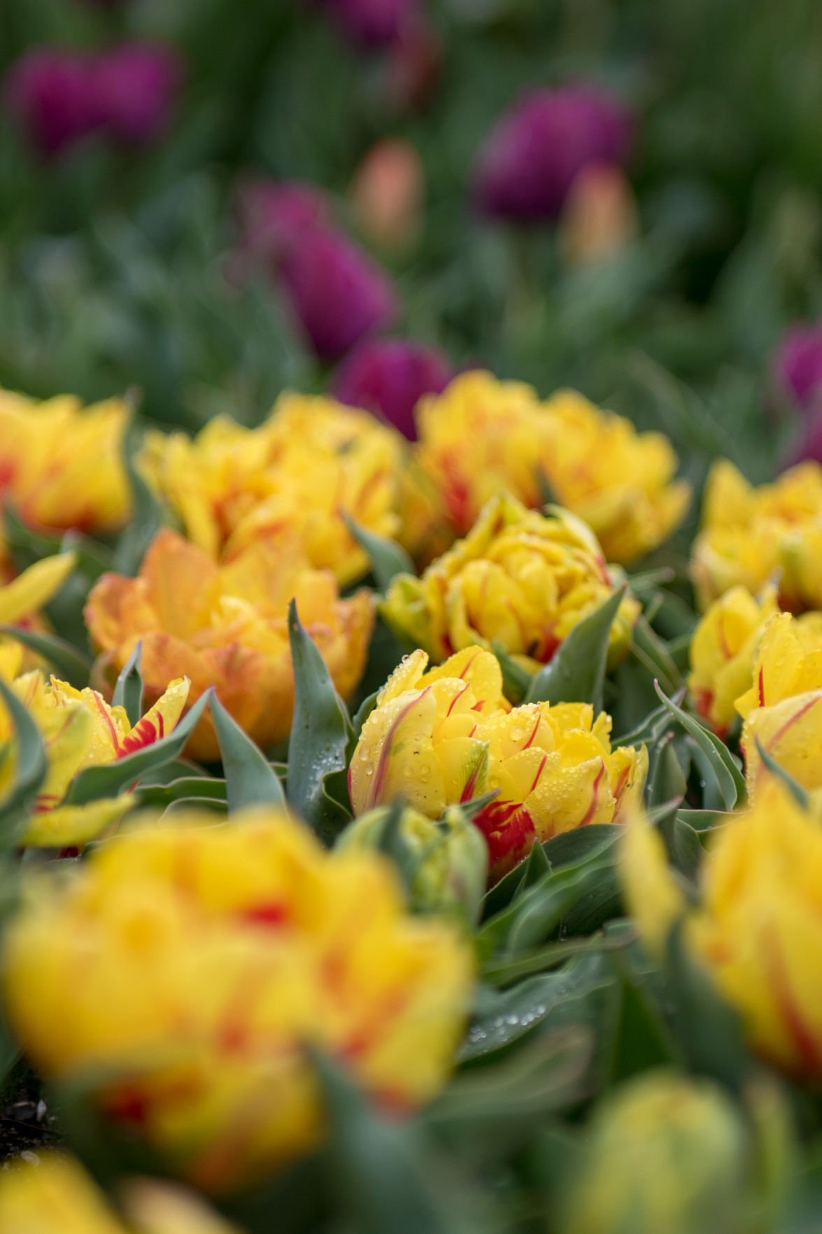 Bethany Tulips in yellow