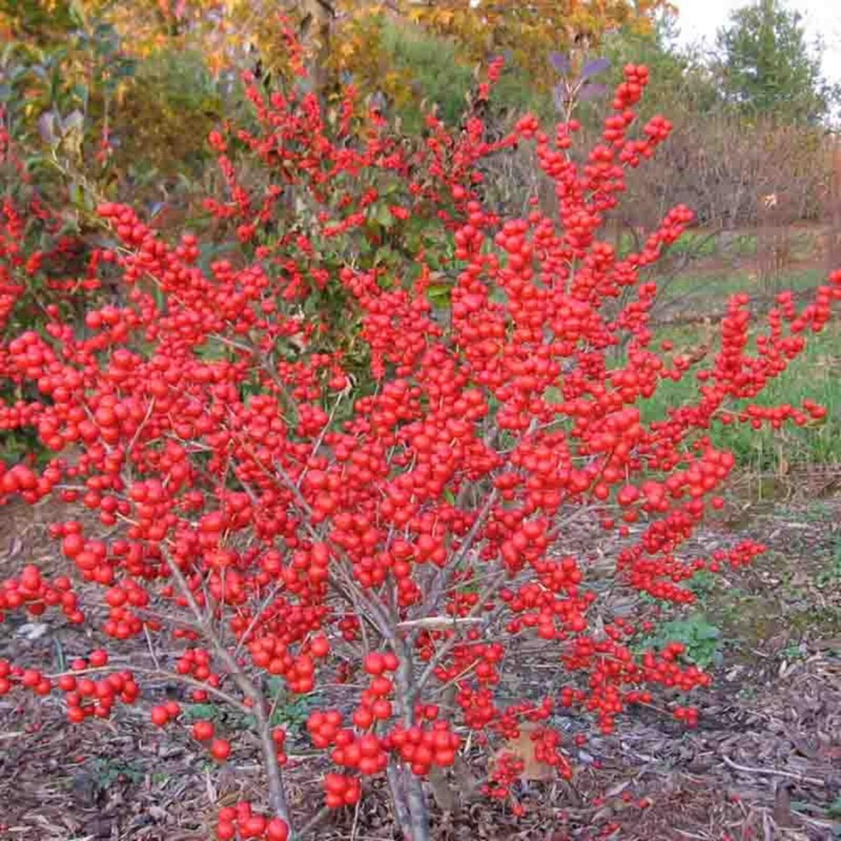 Winterberry berries.jpg