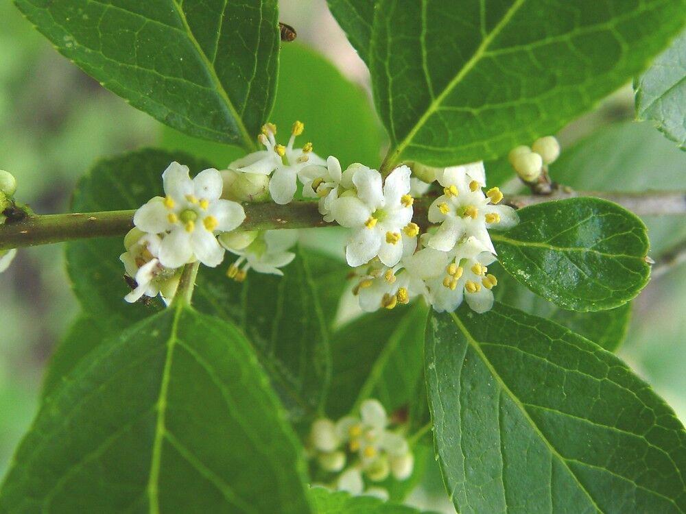 Winterberry flowers.jpg