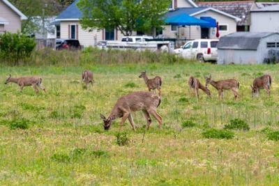 Deer in Ocean View