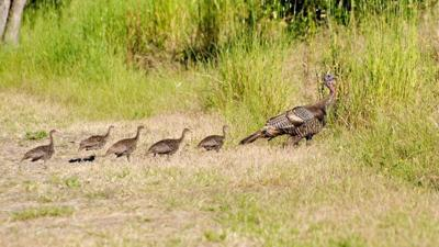 Wild turkeys (copy)