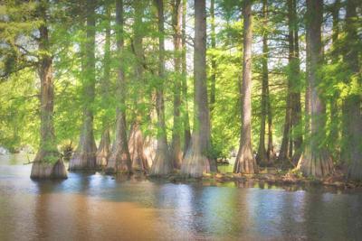 Delaware's Cypress Swamp