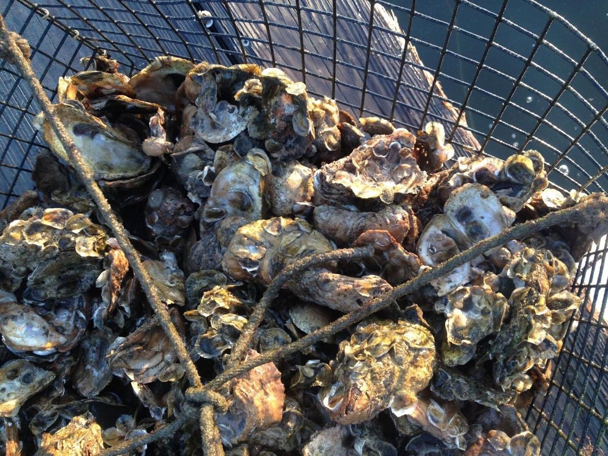 Oyster gardening.jpg