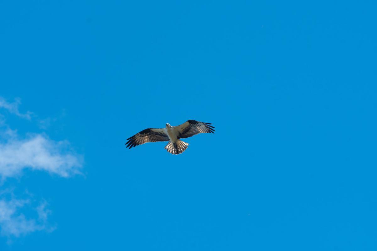 Osprey flies over Bethany Beach Nature Center