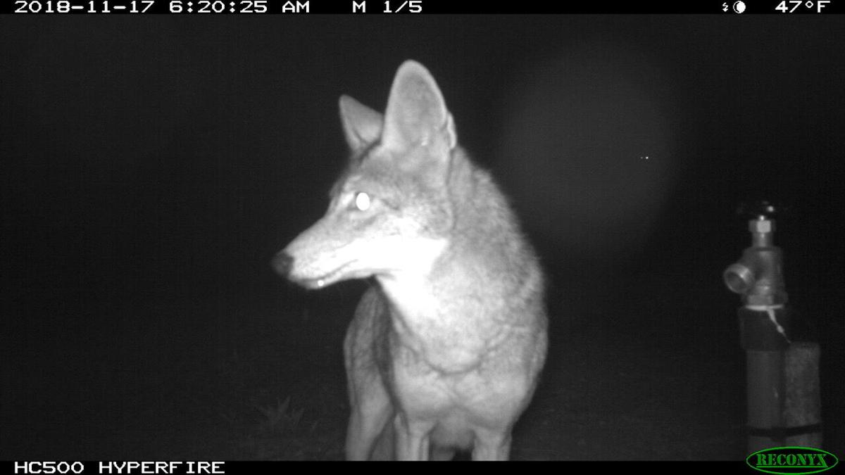 Coyotes on cam
