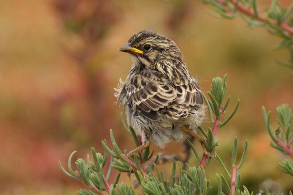 Belding's Savannah sparrow