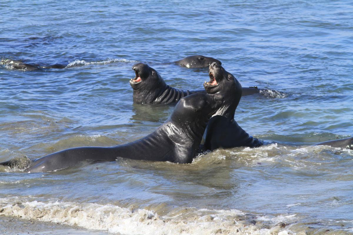 44ChuckGraham_NorthernElephantSeals_PiedrasBlancas_IMG045.JPG