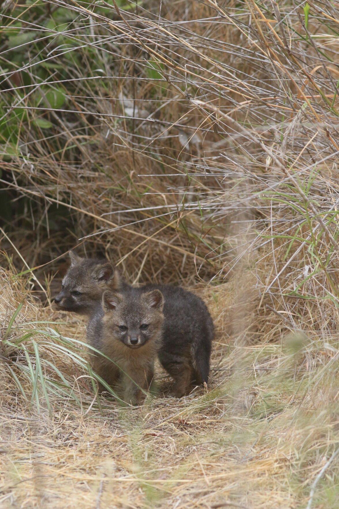 Island fox pups