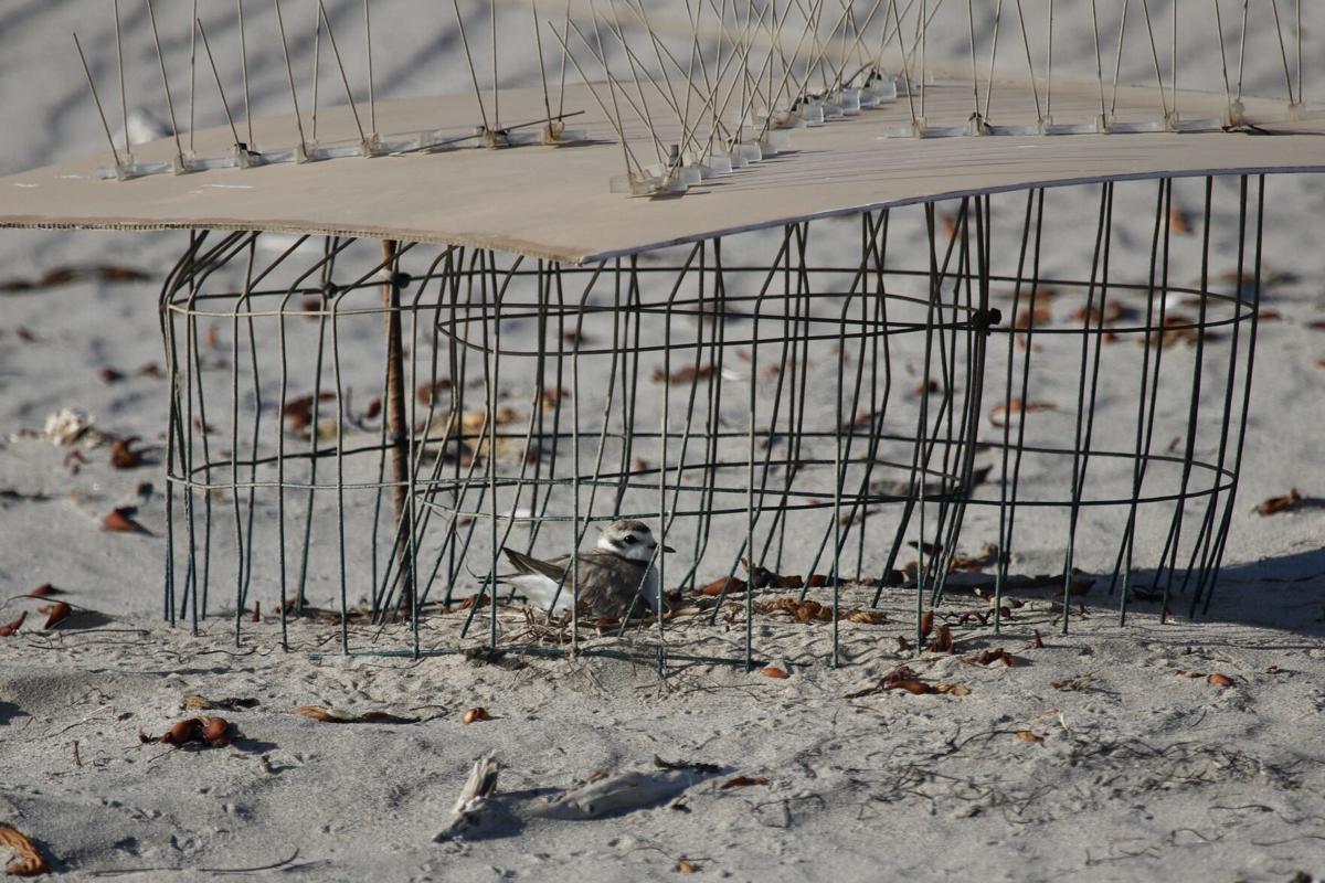 Nesting Snowy Plovers