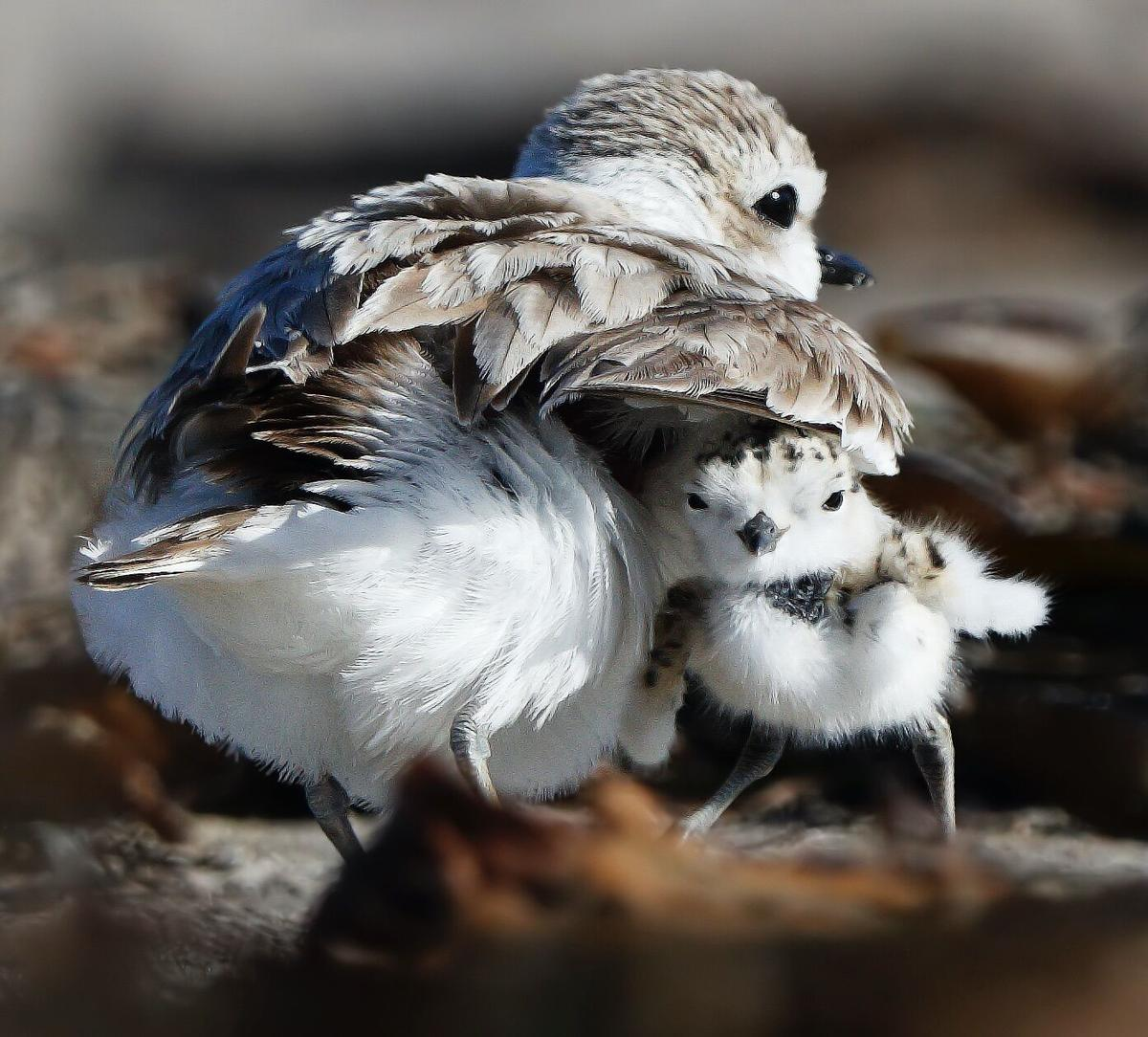 Male Snowy Plovers