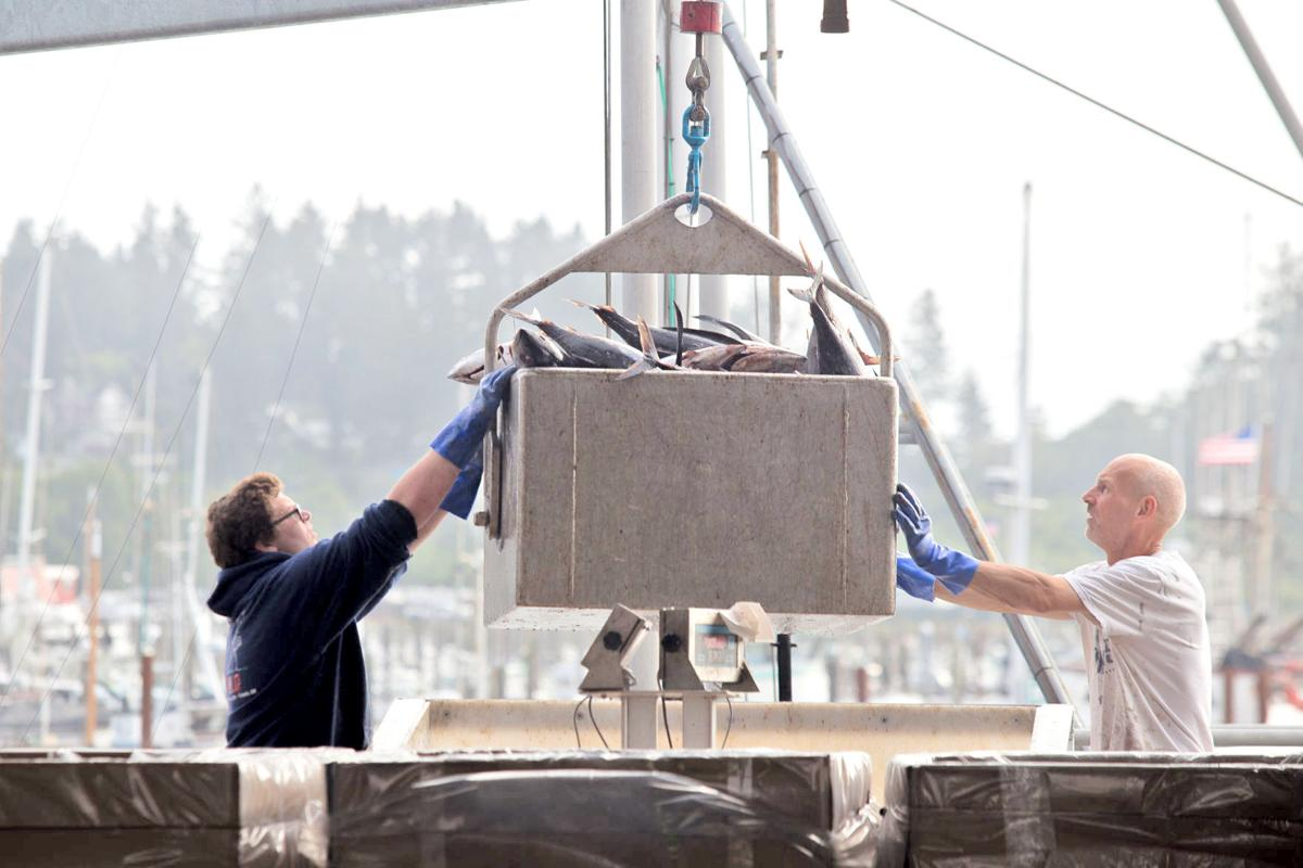 Crew at Ilwaco Landing unload tuna Aug. 20 in Ilwaco. Commercial tuna landings have fallen to fraction of their 10-year average in recent years.