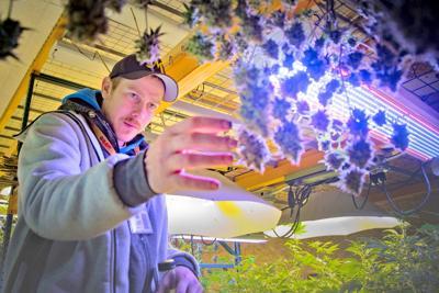Maturing marijuana industry learning, specializing