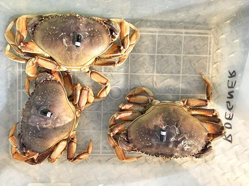 Tagged Dungeness crab