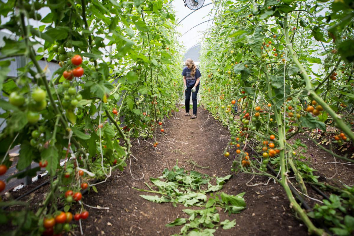 During peak season, Anita Dotson was harvesting around 40 pounds of tomatoes weekly to sell at local markets