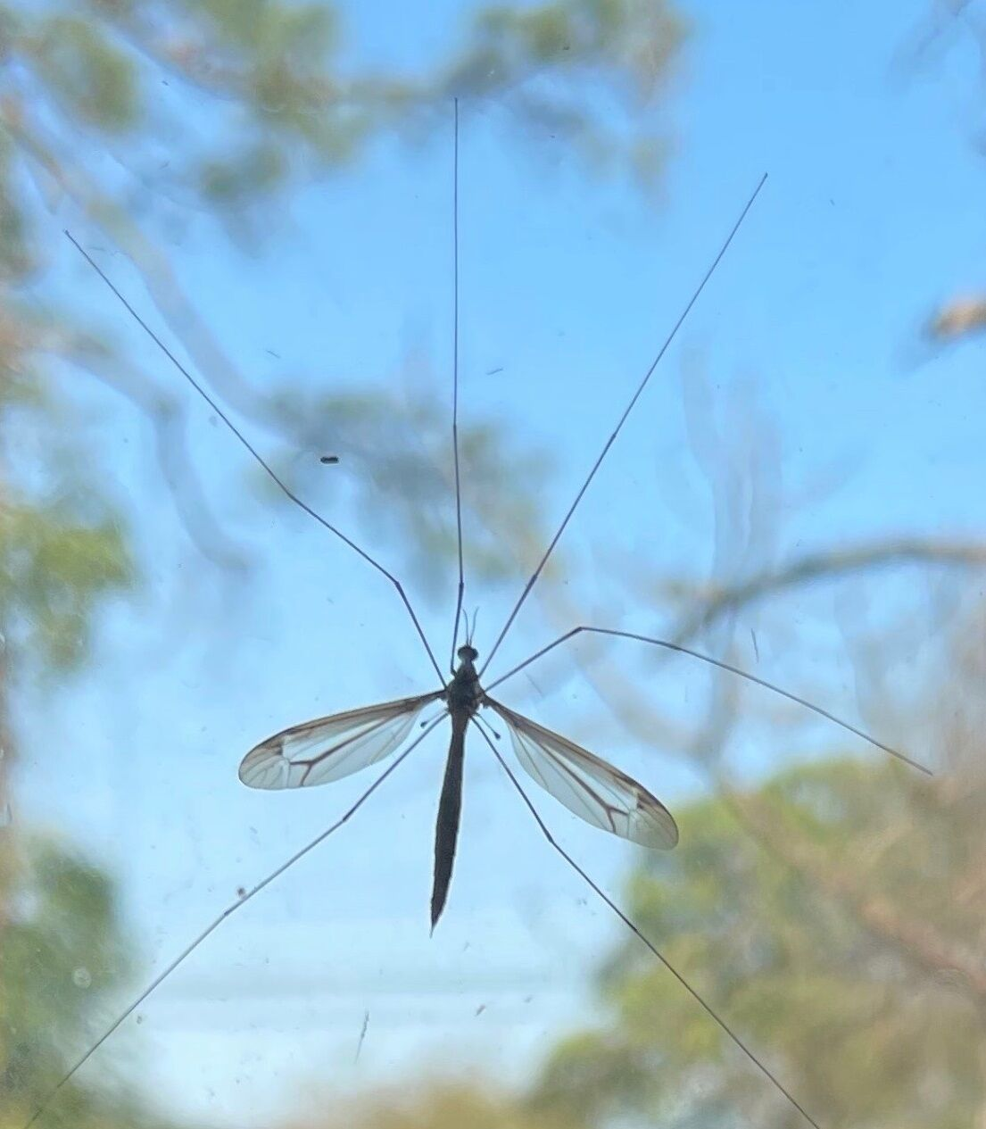 crane fly  mosquito hawk