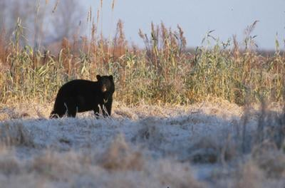 Black Bear Season begins in Vermont