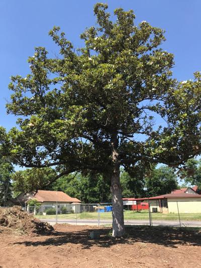 Magnolia Tree from CCMC