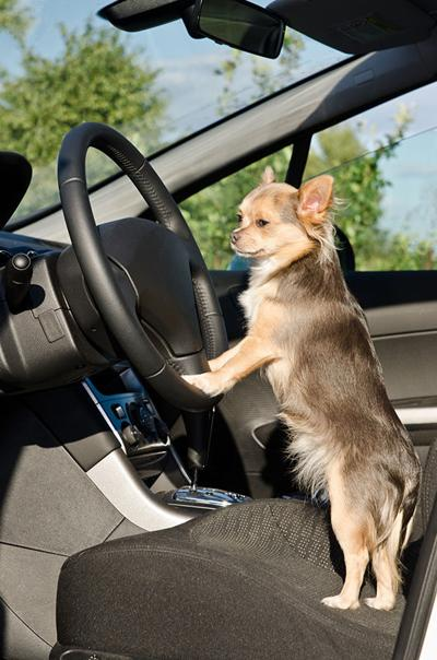 Is it Safe to Leave a Dog Unrestrained in a Car?