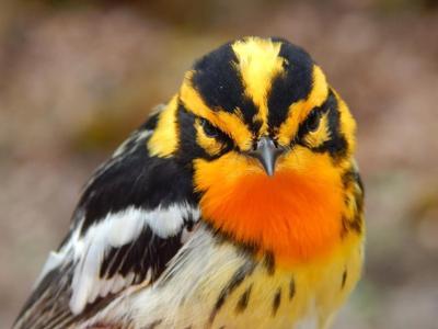 Warbler (For Matt Katz's story)