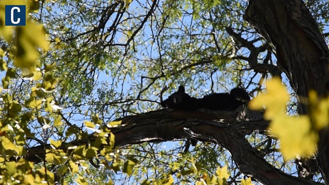 WATCH: Bear gets stuck in tree on South Allen Street in State College