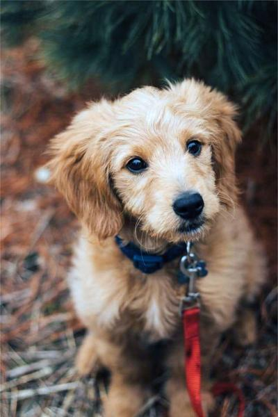 Secrets to picking the right puppy for your family