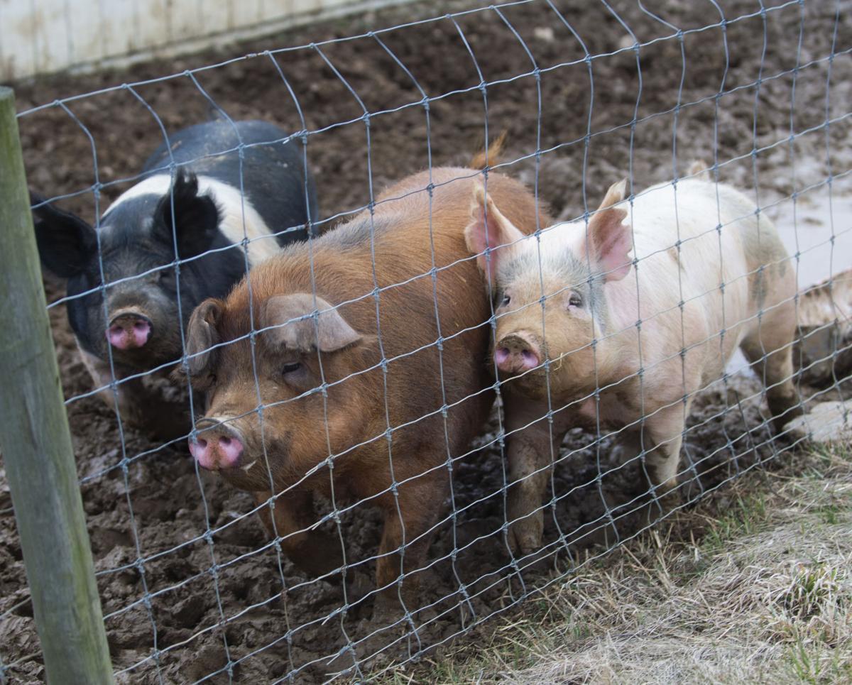 Penn State Swine Center, pig feeding