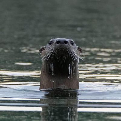 Otter above water
