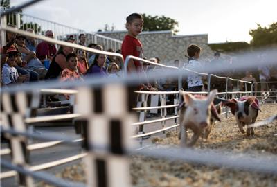 Colorado State Fair pigs