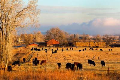 Morning Farm Scene Colorado agriculture cattle