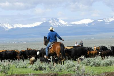 Big Cattle Drive beef