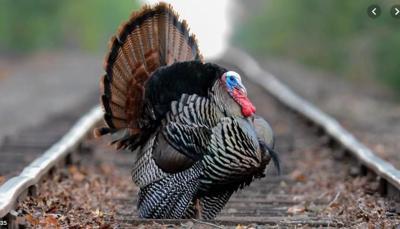 Turkey on a train track