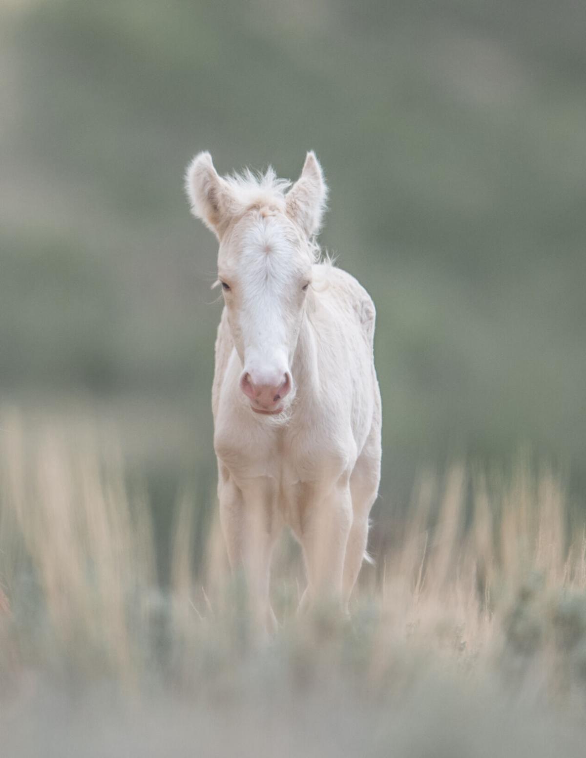 ABIGAIL - rare cremello foal (filly).jpg