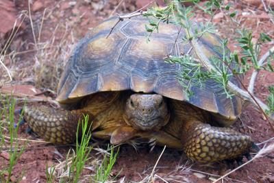 Threatened-Tortoise-Utah-Highway