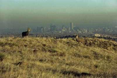 Denver's Brown Cloud and mule deer Colorado pollution climate